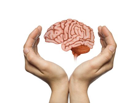 Un cerebro humano entre dos palmas de una mujer sobre fondo blanco aislado. Concepto de protección del cerebro y derechos intelectuales.