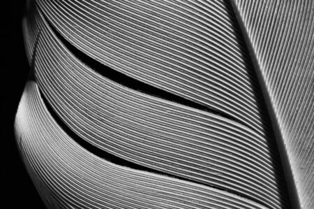 Fragment of bird's feather, close-up. Black and white. Stok Fotoğraf - 130680358