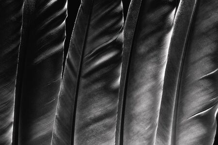 Fragments of bird's feathers, close-up. Black and white. Stok Fotoğraf - 130680361