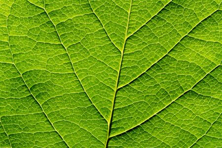 Green leaf texture, close-up. Abstract nature background.