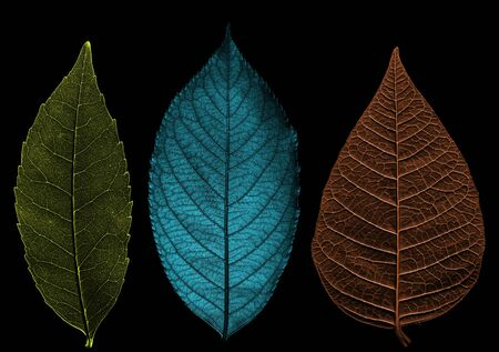 Three leaves are colored different color. Beautiful texture on black background. Image