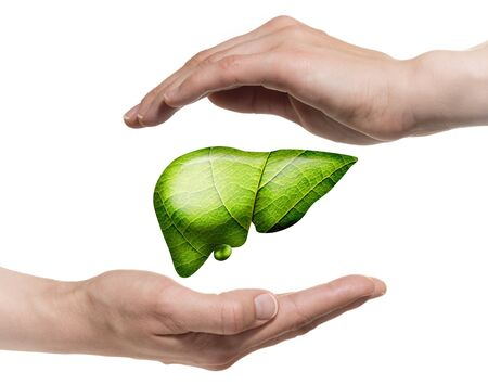 A human liver between two palms on white isolated background. The concept of a healthy liver. Standard-Bild