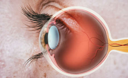 Structure of human eye. In side view.