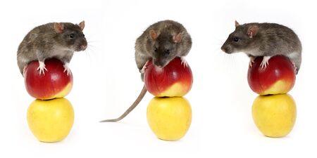 The big grey rat and apples   photo