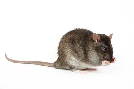 The big grey rat on a white background