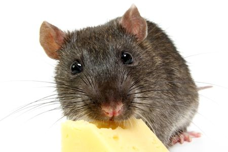The big grey rat on a white background with a cheese slice  photo
