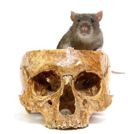 The big grey rat in a human skull Stock Photo
