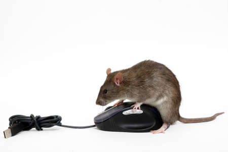 The big grey rat on the computer mouse  photo