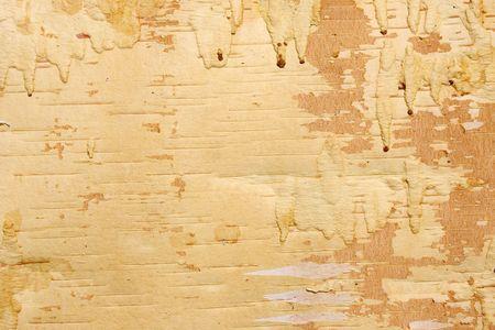 Underside of a bark of a birch