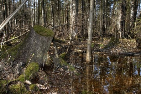 the thicket: Early spring. The impassable wood thicket flooded with spring waters. Russia, the Udmurt republic.