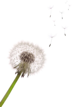 The seeds which are flying away from a dandelion on a white background Stock Photo