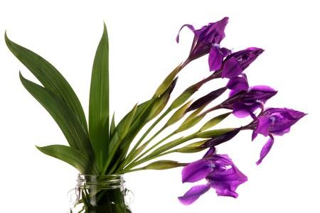 Bouquet of dark blue irises on a white background Stock Photo - 7001918