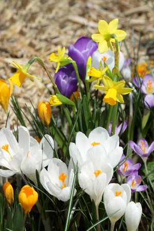 Some multi-colored snowdrops, crocuses , against a green grass.  photo