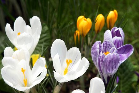 Some multi-colored snowdrops, crocuses , against a green grass. Stock Photo - 8938866