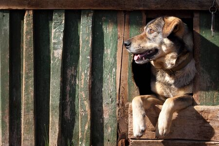 mushing: The benevolent dog looks out of the kennel