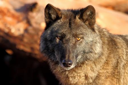 孤独的灰狼在即将到来的阳光下