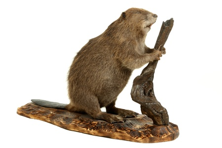 Stuffed animal of the young beaver. It is isolated on a white background Stock Photo