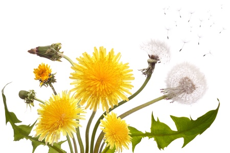 Bouquet from the different dandelions blossoming, yet not dismissed and already faded   Stock Photo