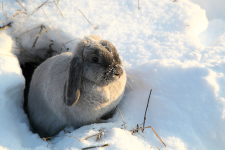 lop eared: The gray rabbit looks out of a hole in the winter Stock Photo