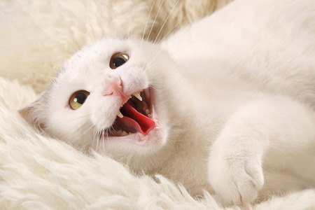 sheepskin: Aggressive white cat with an open mouth on a white sheepskin
