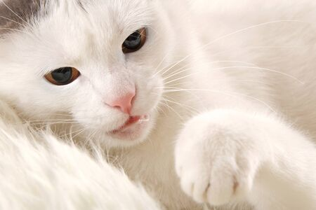 snarling: The white cat is protected by a paw