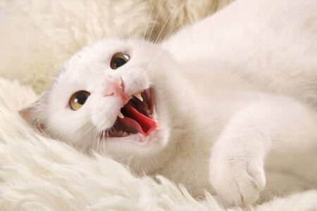 snarling: Aggressive white cat with an open mouth on a white sheepskin