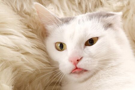 irritation: portrait of a wondering white cat with yellow eyes and pink tongue