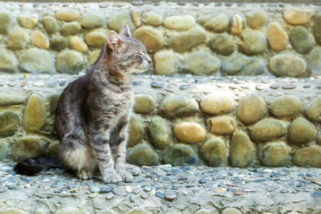 gray tabby: The gray tabby sits on a stone porch
