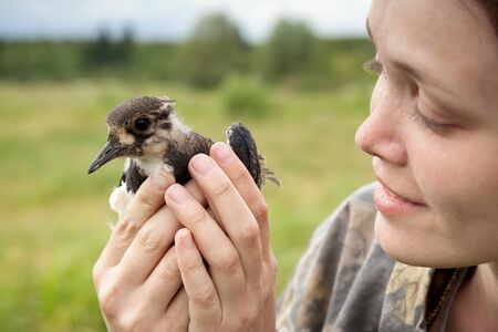 lapwing: the girl holds in hand a bird a lapwing Stock Photo