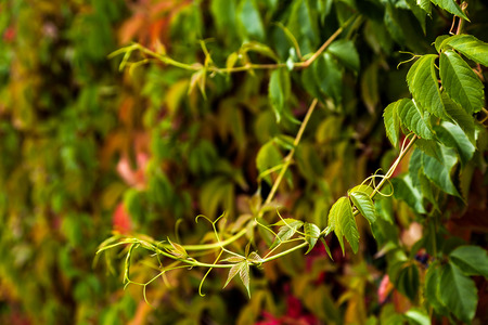 background of a branch of green maiden grapes