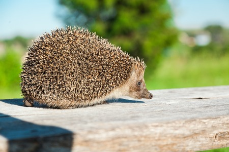 the lovely hedgehog sits on a wooden board