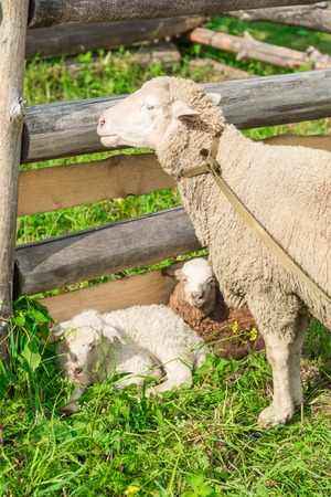 Sheep with lambs in the shelter on a grass Stock Photo