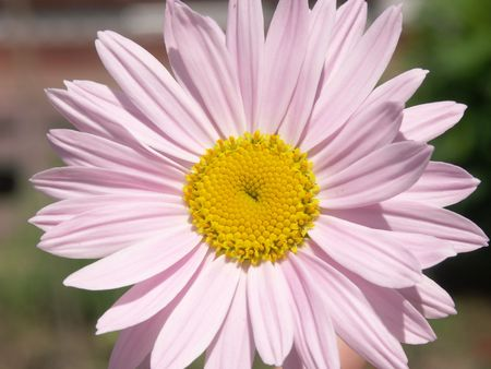 Camomile with pink petals and yellow center close-up Stock Photo - 572826