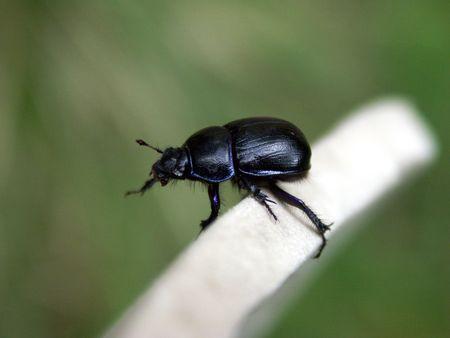 Earth-boring dung beetle keeping its balance on the edge photo