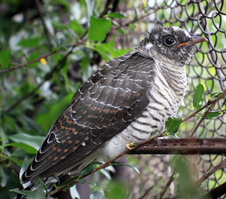 canorus: Fledgling cuckoo sitting on a twig (Cuculus canorus)