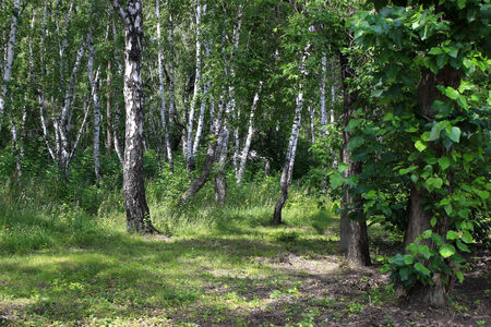 copse: Summer landscape. In a birch copse