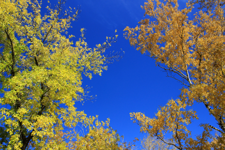 broad leaved tree: Autumn. Yellow tops of birches and maples against blue sky background Stock Photo