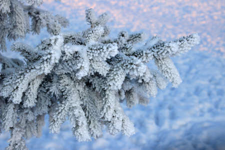fir twig: Winter. Frosty fir twig at the evening