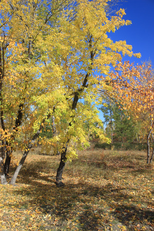 broad leaved tree: Beautiful golden maples against blue sky
