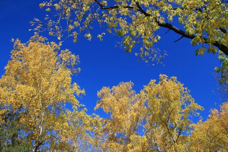 copse: Autumn. Yellow tops of birchs and maples against blue sky background Stock Photo