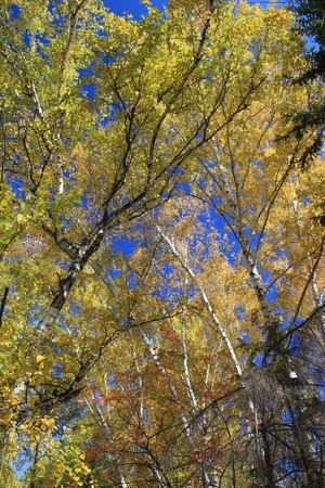 broad leaved tree: Autumn. Yellow tops of birchs against blue sky background Stock Photo