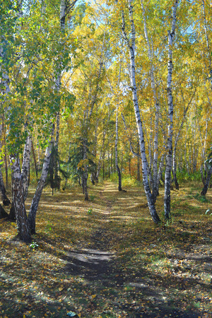 copse: Autumn landscape. Path in the birch copse