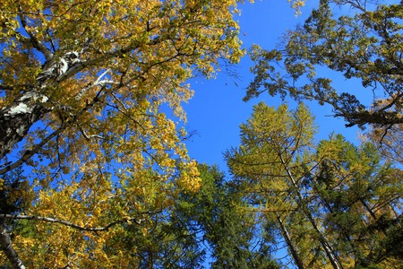 broad leaved tree: Autumn. Yellow tops of birchs and larchs against blue sky background Stock Photo