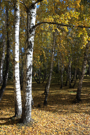broad leaved tree: Autumn landscape. In the birch copse Stock Photo