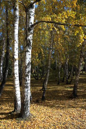 copse: Autumn landscape. In the birch copse Stock Photo