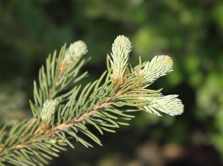 fir twig: Fir twig with young sprouts against green background Stock Photo