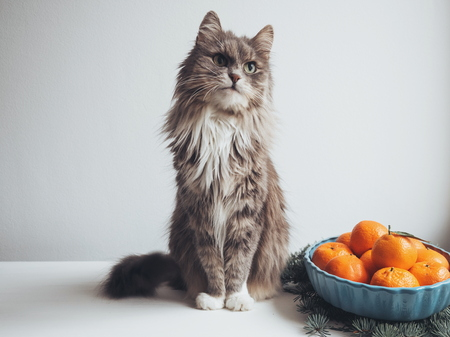 ?ute kitten sits on a table near fir branches and fragrant mandarins on a plate 版權商用圖片