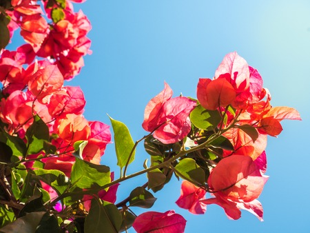 Beautiful pink and red flowers on a blue sky background on a clear, sunny day. Close-up