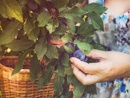 Female hands harvesting ripened plums