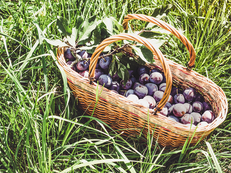 Wicker basket with ripe, fragrant plums